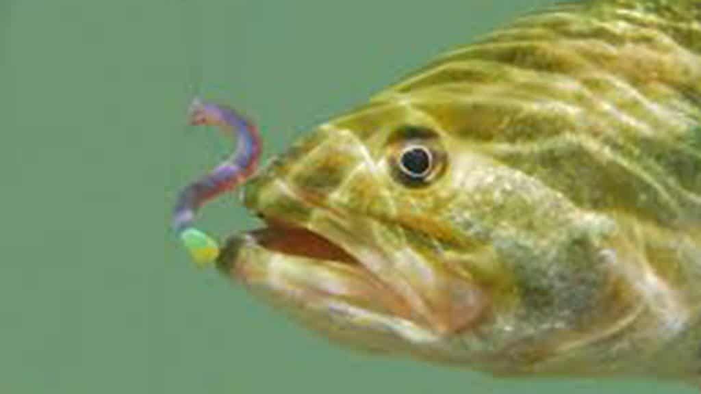 Largemouth Bass and Invasive Species