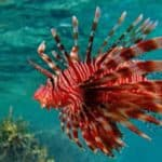 Red and Common Lionfish