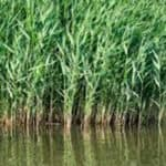 Common Reed an Invasive Species