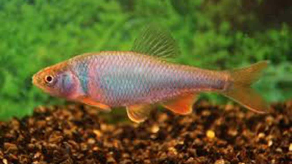 Red Shiner an invasive species