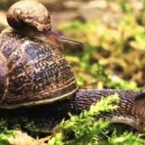 Chinese Mystery Snail an invasive species