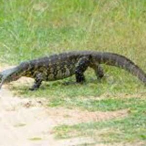 Nile Monitor and Invasive species in Florida