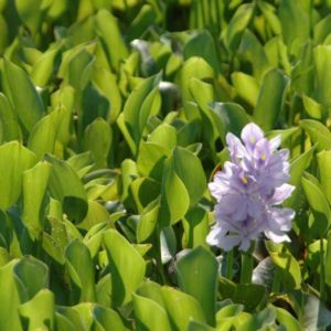 Common Water Hyacinth as invasive species including water hyacinth control and water hyacinth use